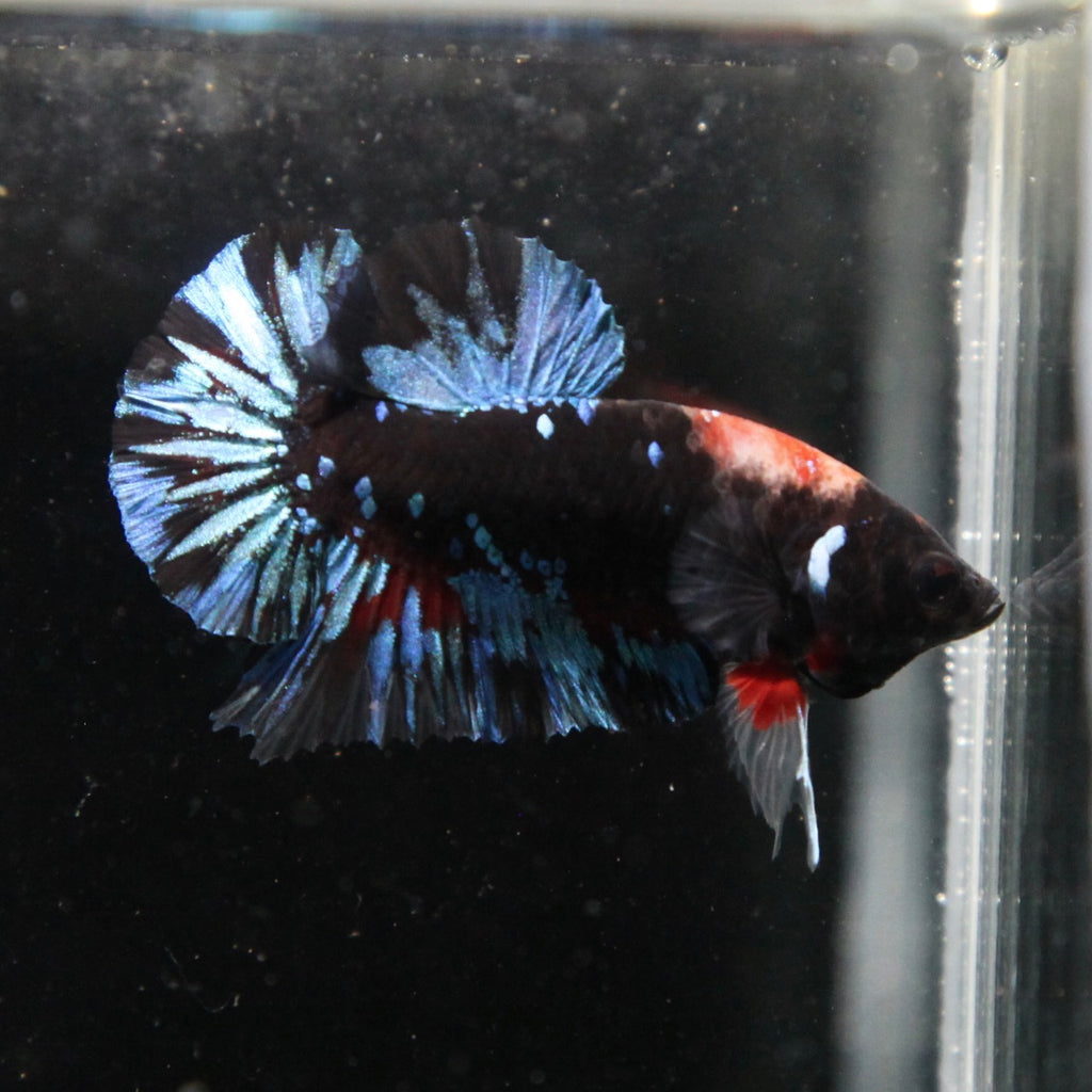 PREMIUM Black/Blue Koi Galaxy HMPK