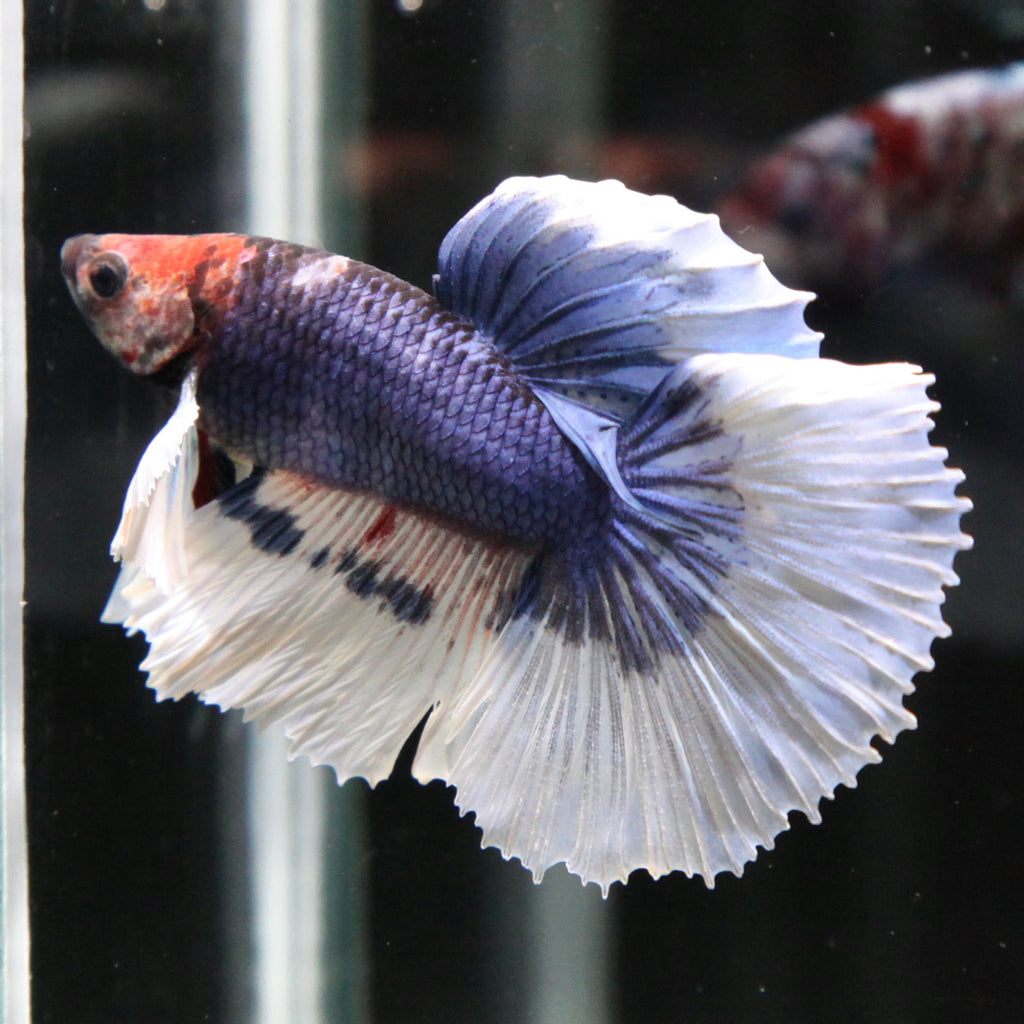 Blue/Purple Marble Dumbo Halfmoon