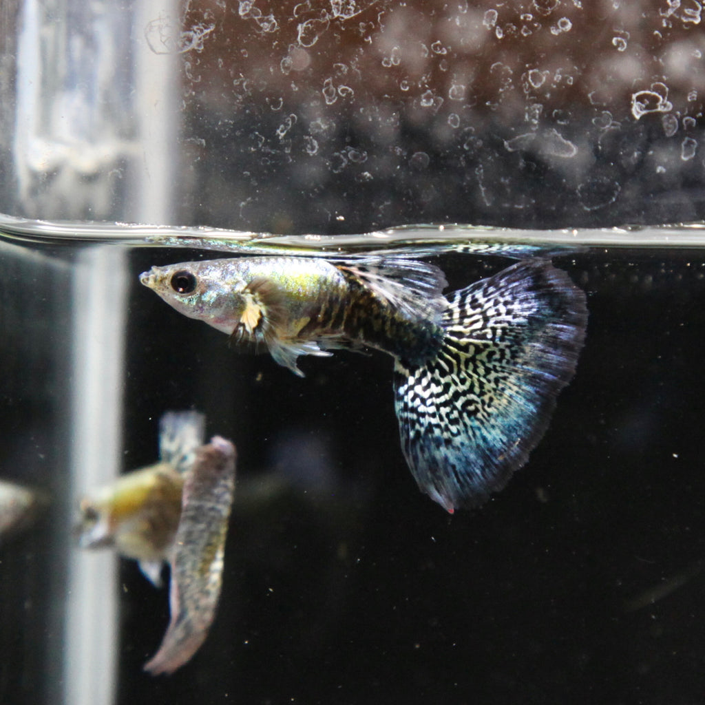 Green Dragon Guppy (PAIR)