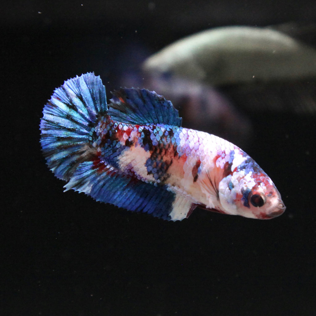 Blue Koi Galaxy HMPK