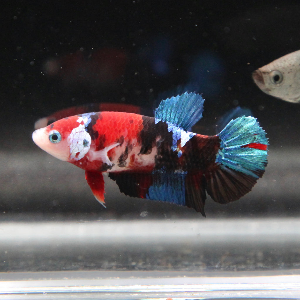 Red/Blue Tiger Koi Galaxy HMPK