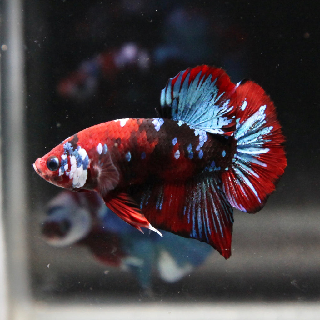 Blue/Red Tiger Koi Galaxy HMPK