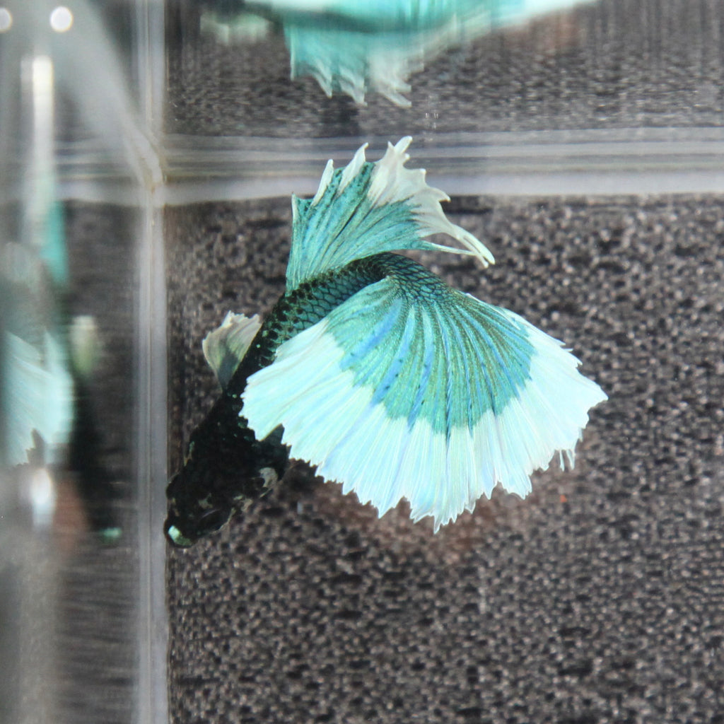 Iridescent Blue/Green Dumbo Butterfly Halfmoon