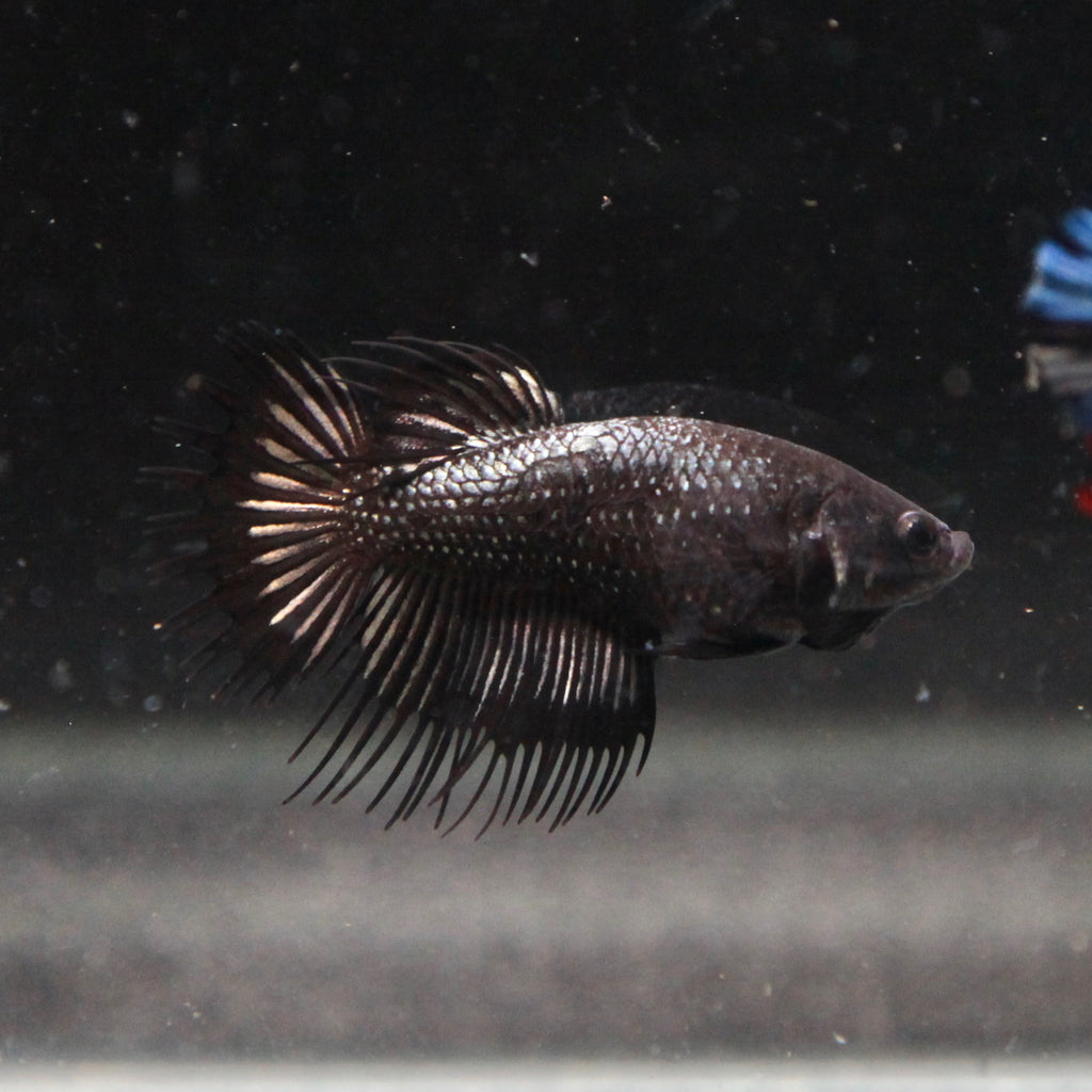Black Orchid Crowntail