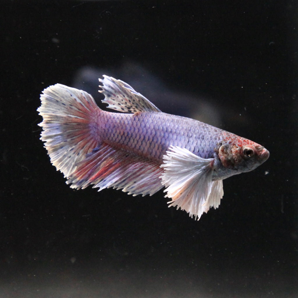 Blue/Purple Dumbo Halfmoon