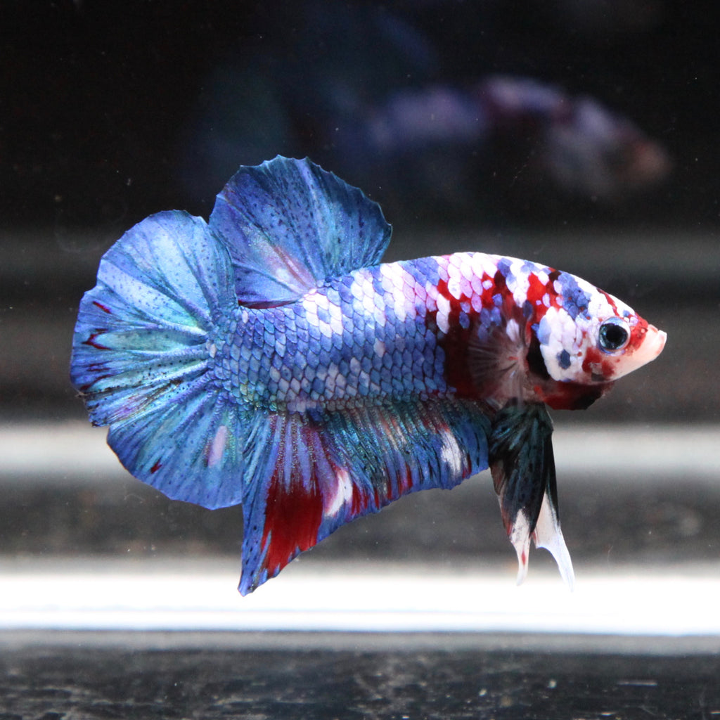Red/Blue Koi Galaxy HMPK