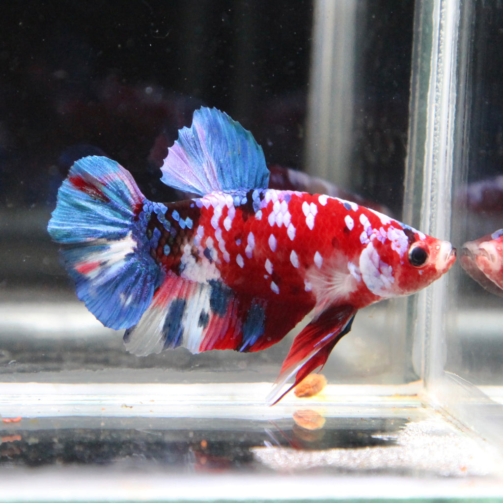 Red/Blue Galaxy Koi HMPK