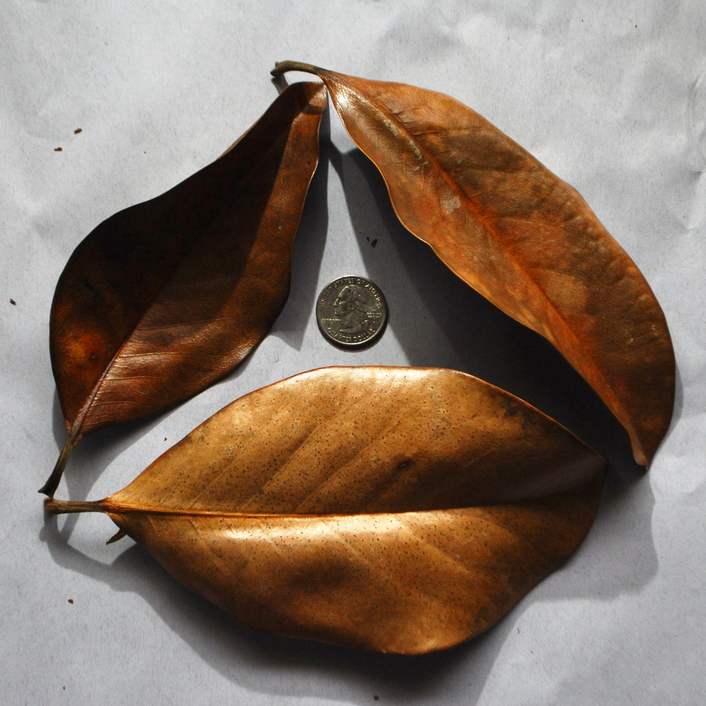 Large Magnolia Leaves (2-Pack)