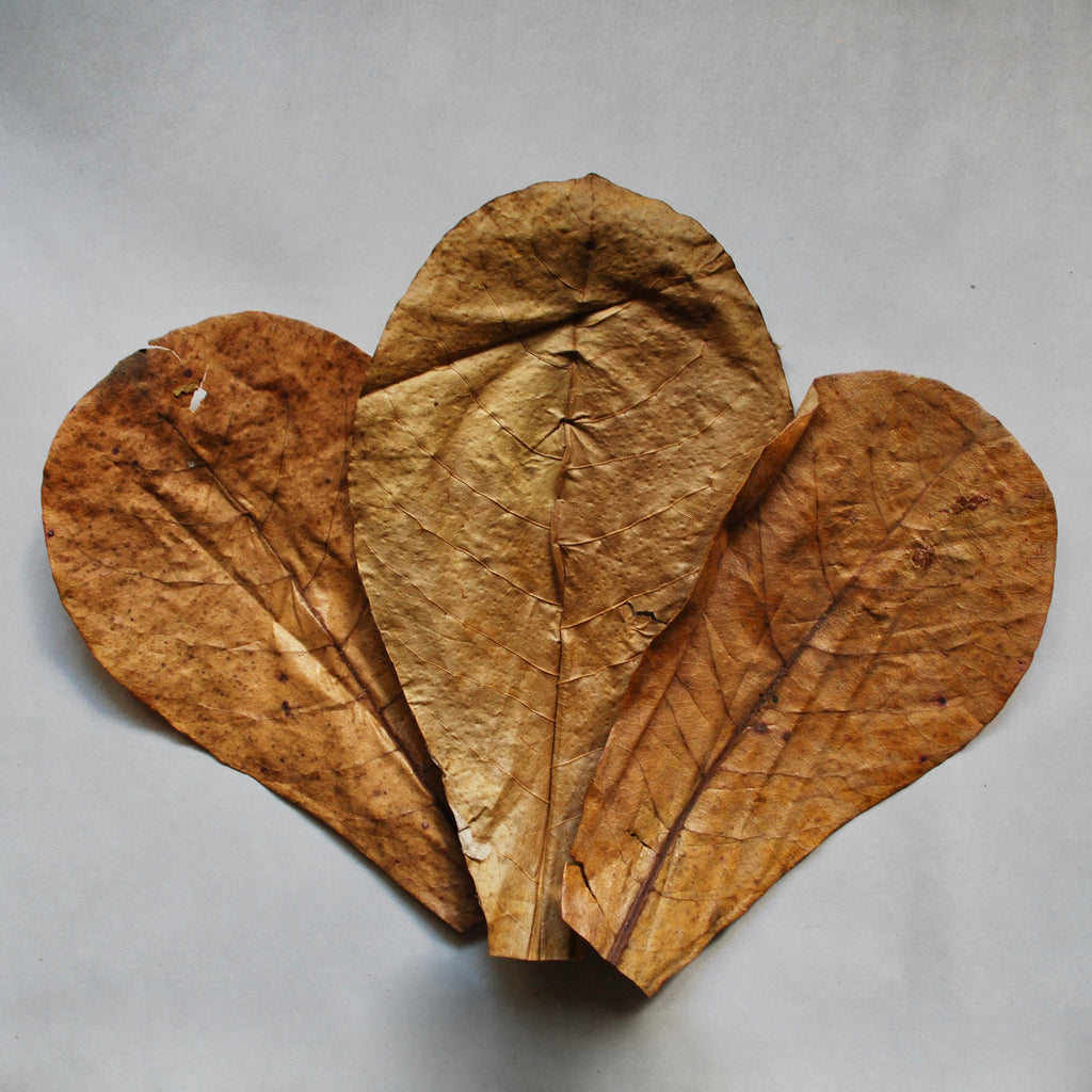 Indian Almond Leaves!!! (3-Pack)