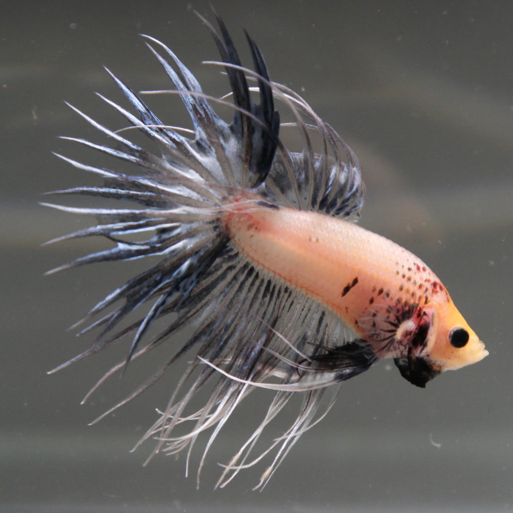 White/Blue Grizzle Crowntail