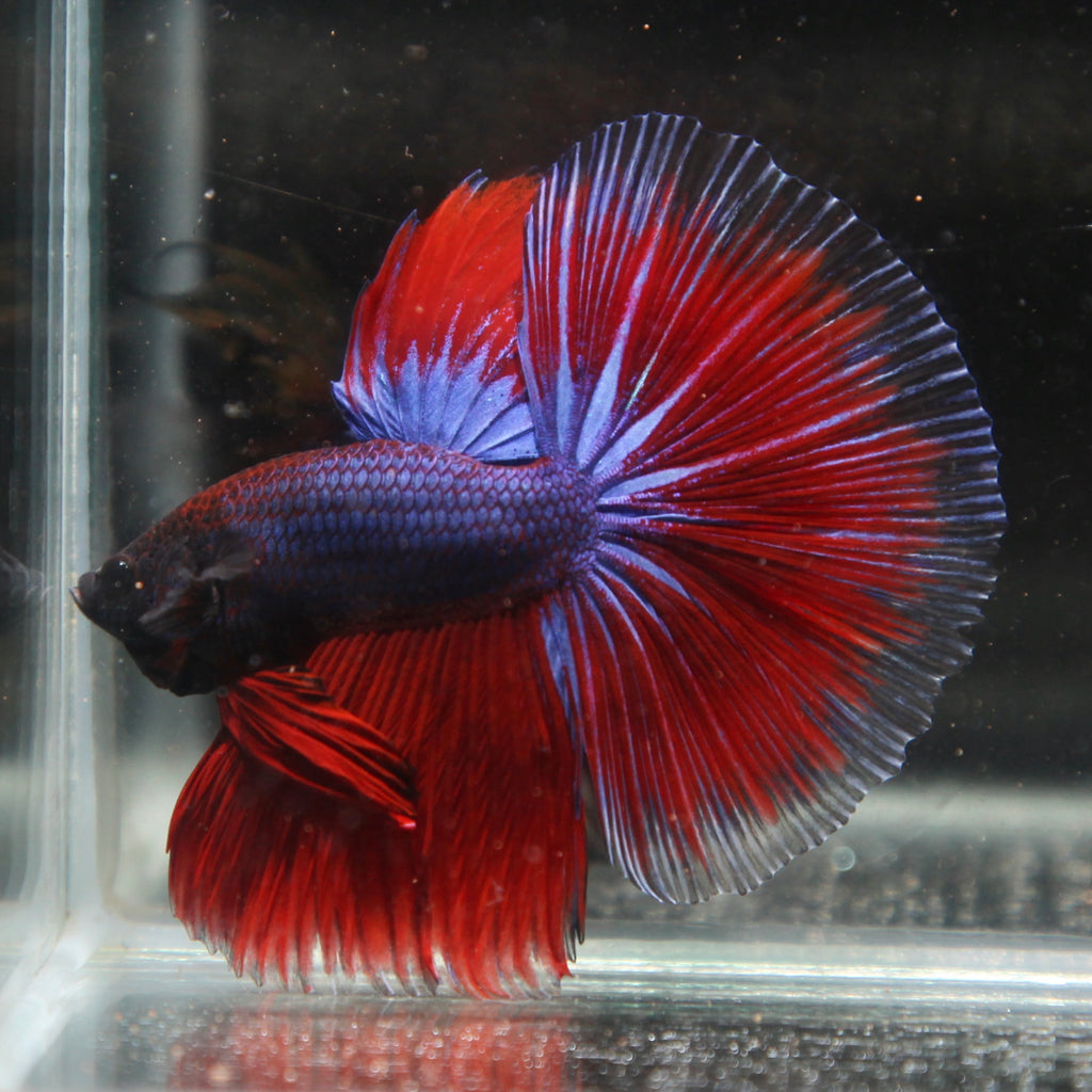 Purple/Red Grizzle Halfmoon