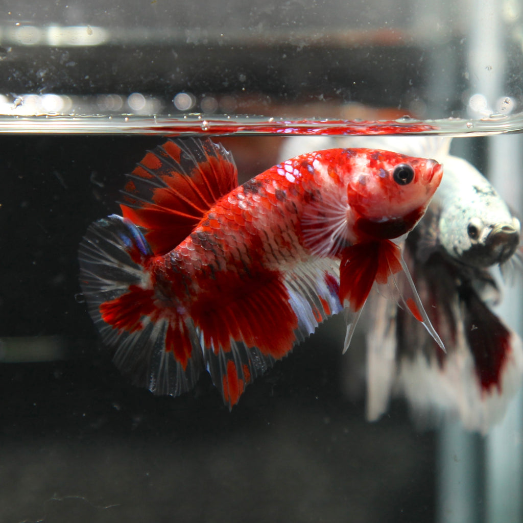 Red Cellophane Koi HMPK