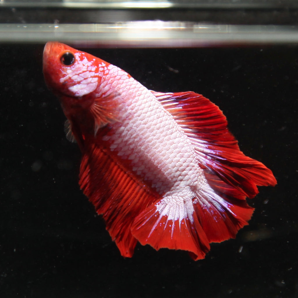 PREMIUM Red Fancy Dragon Doubletail