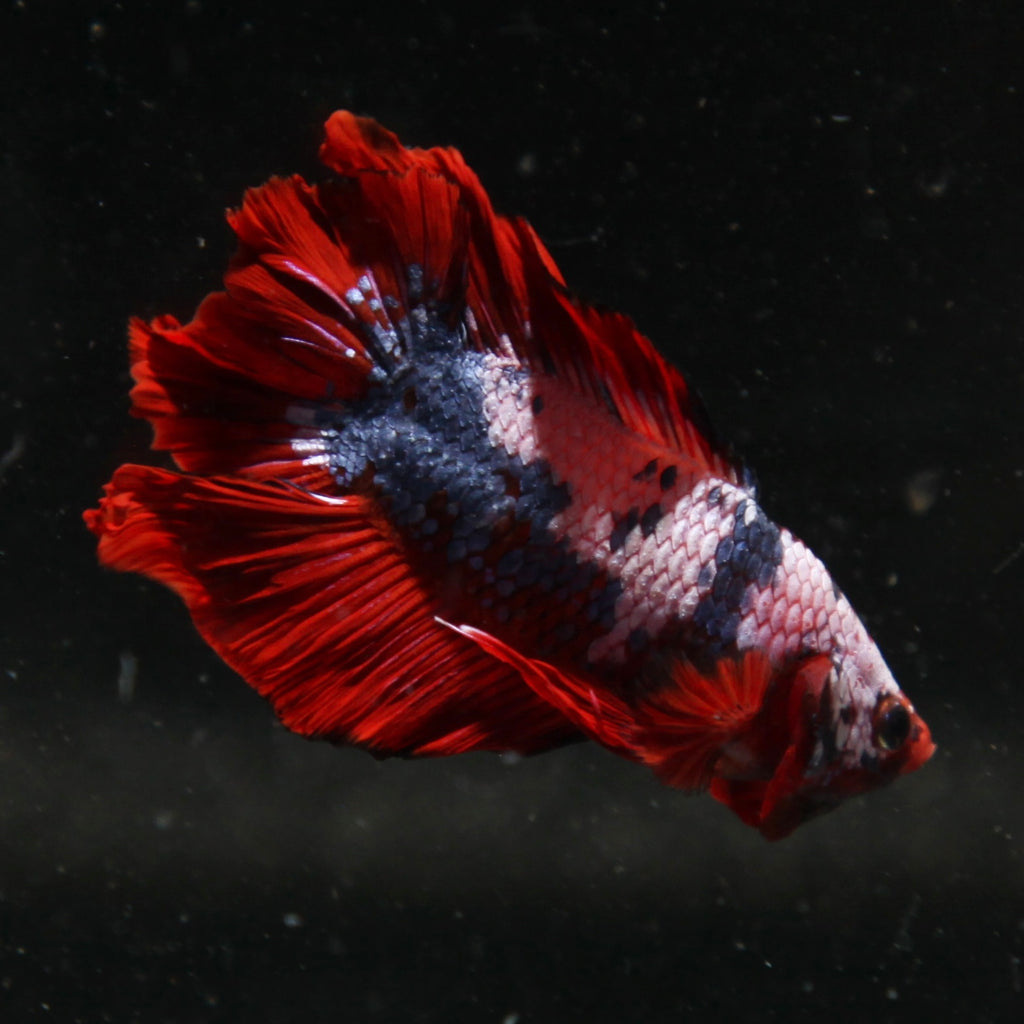 PREMIUM Pirate Fancy Marble Doubletail