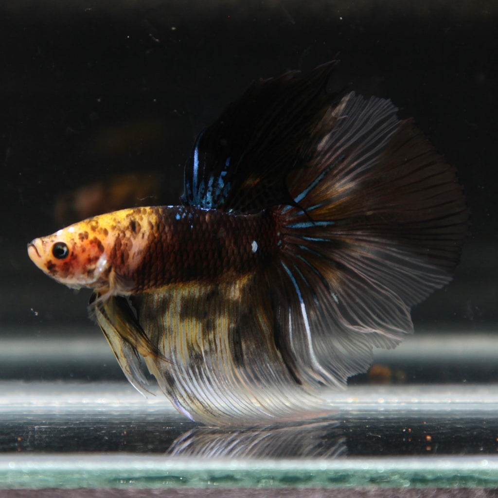 PREMIUM Yellow-Head Black Galaxy Halfmoon