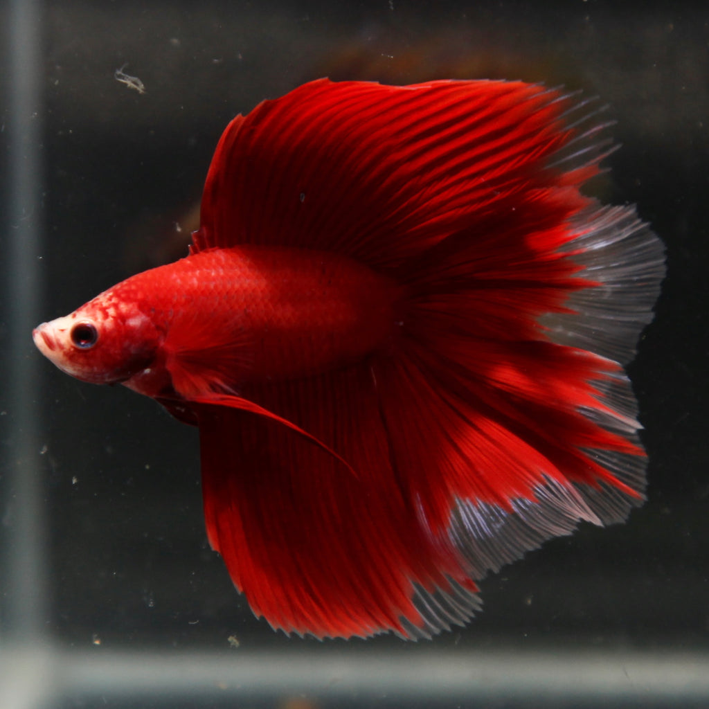PREMIUM Red Cellophane Doubletail