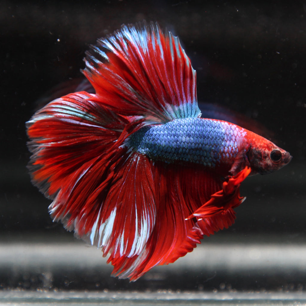 Blue/Red Marble Halfmoon