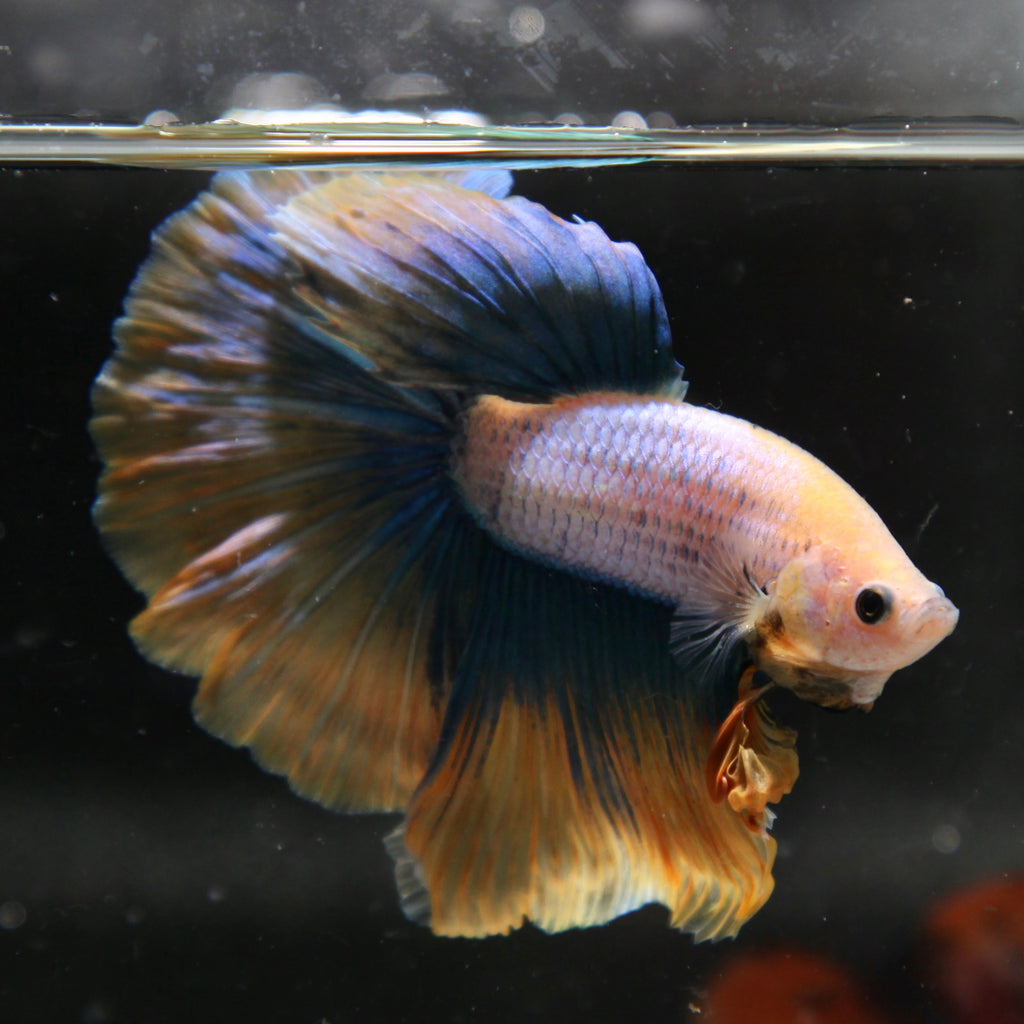 Blue/Yellow Grizzle Halfmoon