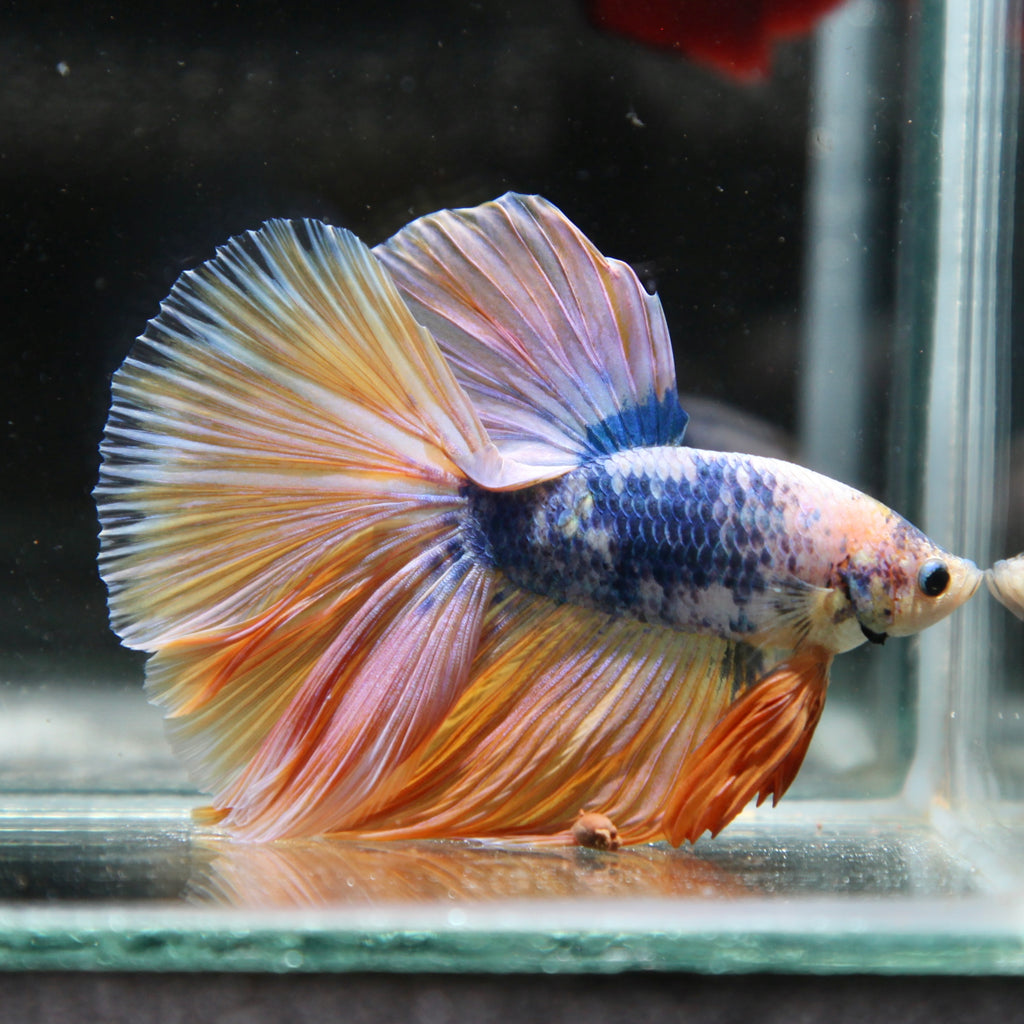 Iridescent Blue/Yellow Grizzle Halfmoon