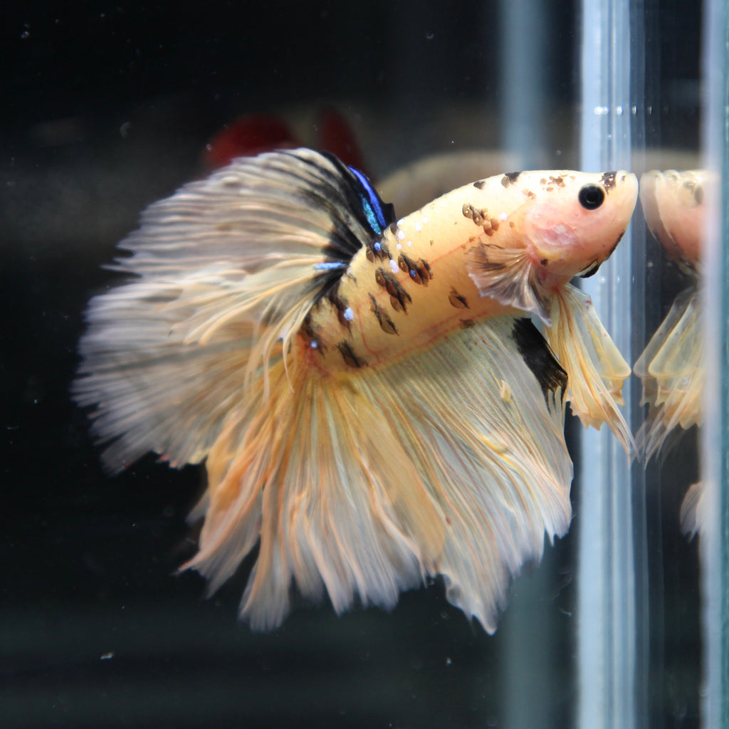 PREMIUM Yellow Tiger Galaxy Koi Halfmoon