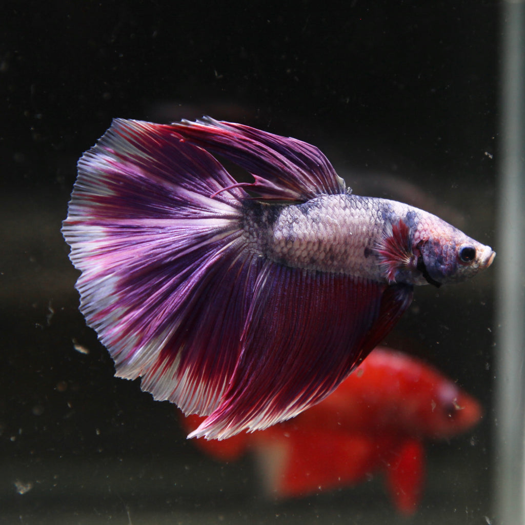Purple Grizzle Halfmoon