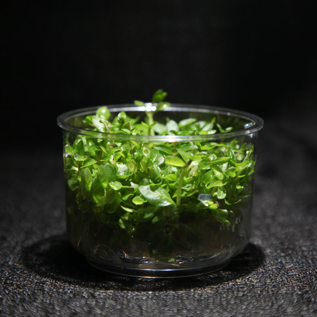 Staurogyne Repens (Tissue Culture)