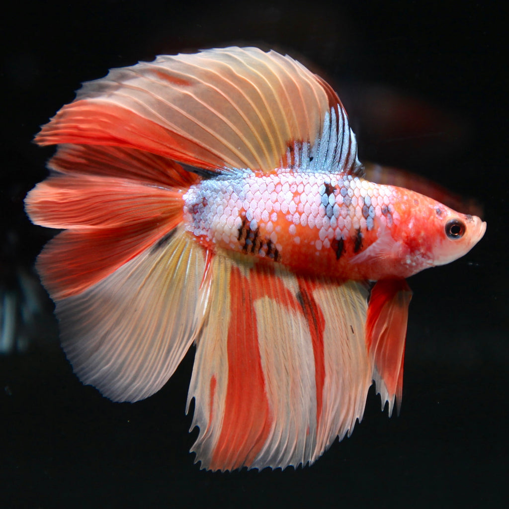 ULTIMATE Candy Nemo Doubletail