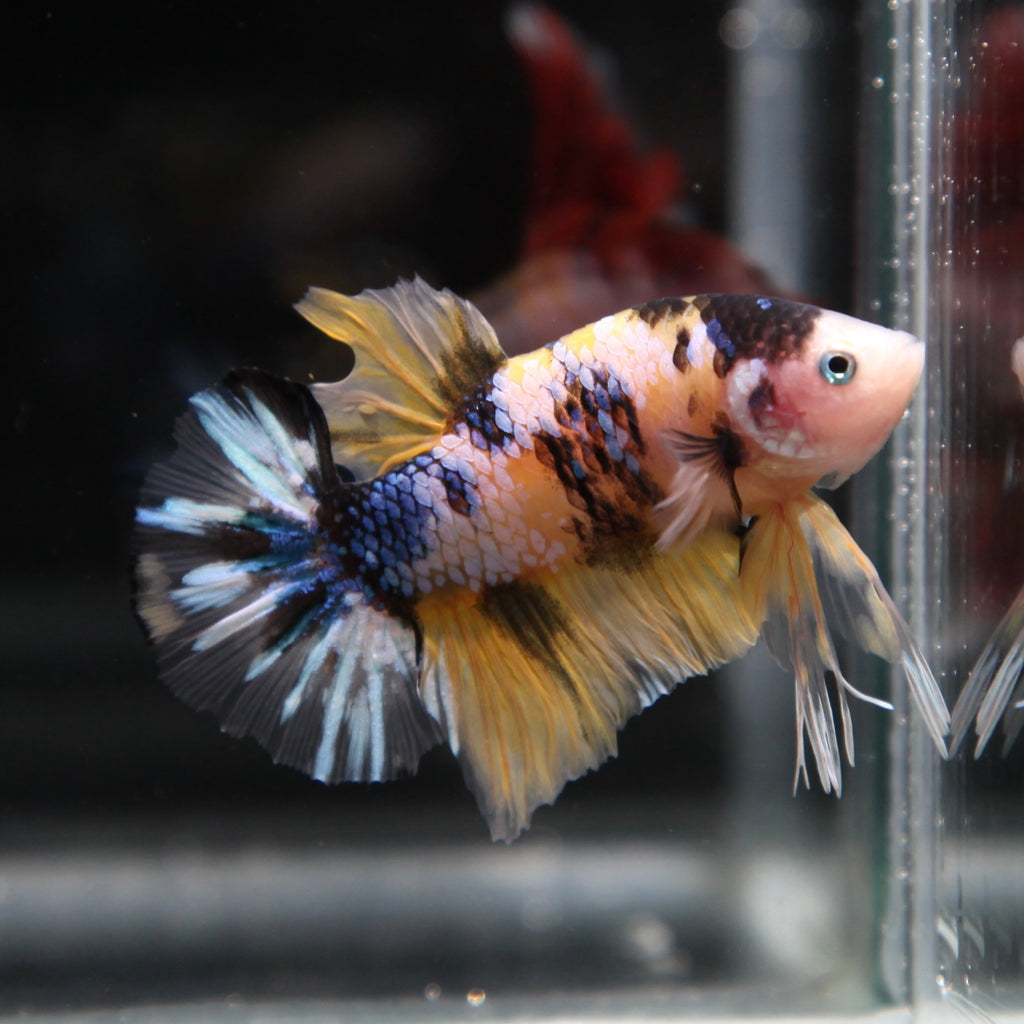 PREMIUM Yellow Koi Galaxy HMPK