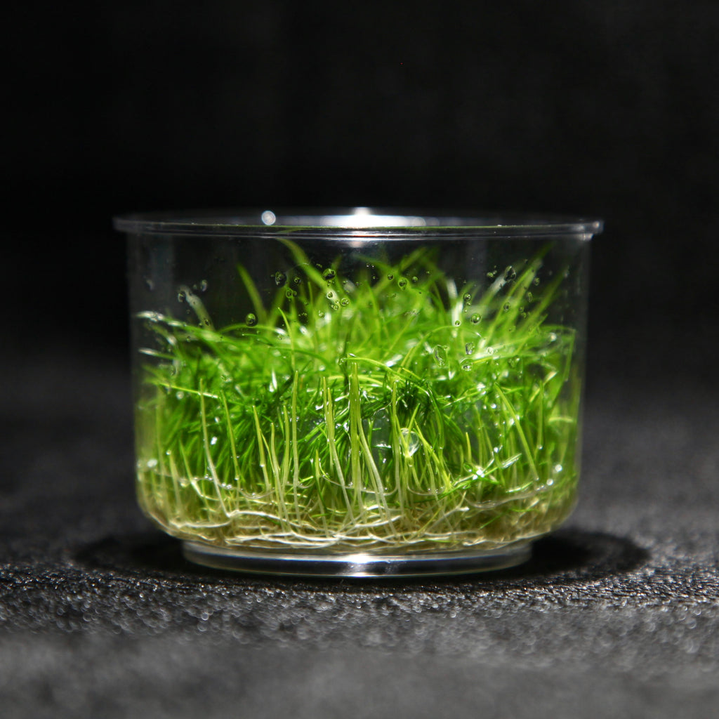 Dwarf Hairgrass (Tissue Culture)