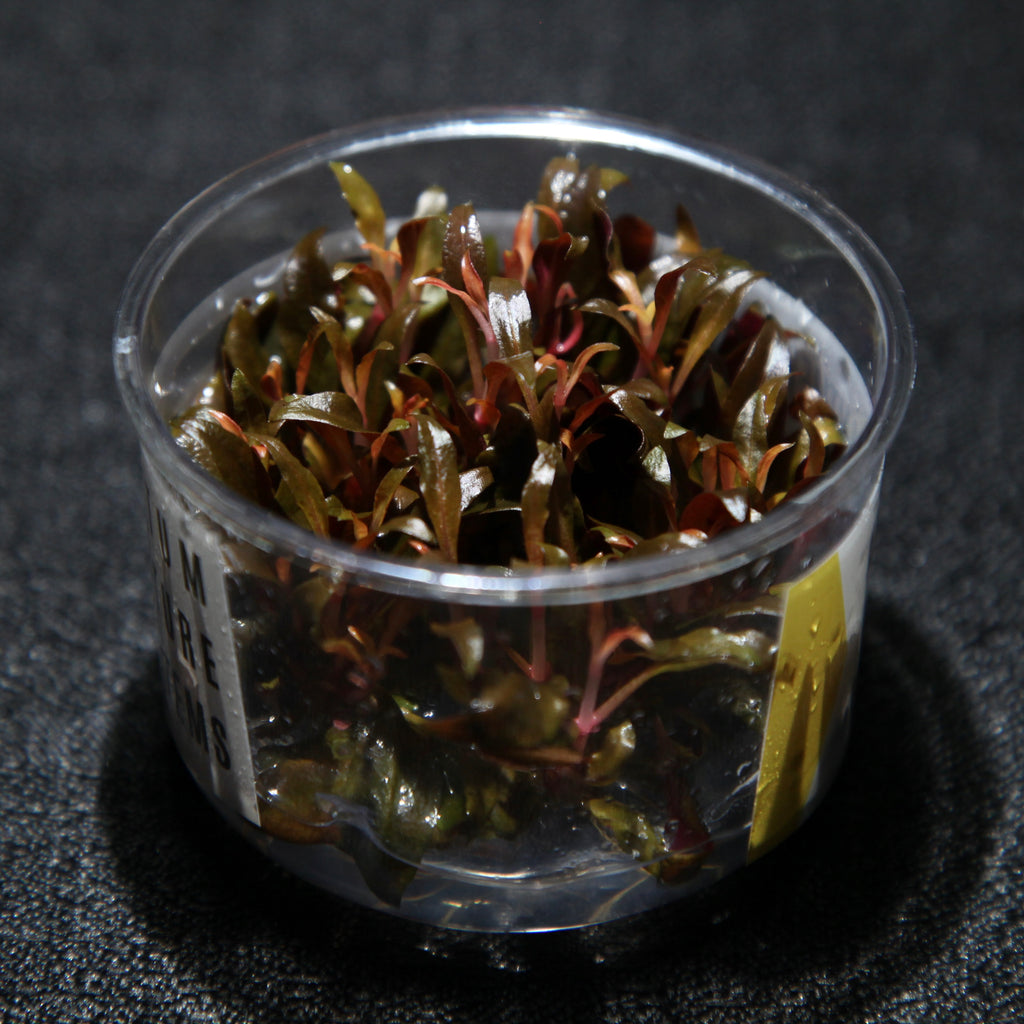 Alternanthera reineckii 'Mini' (Tissue Culture)