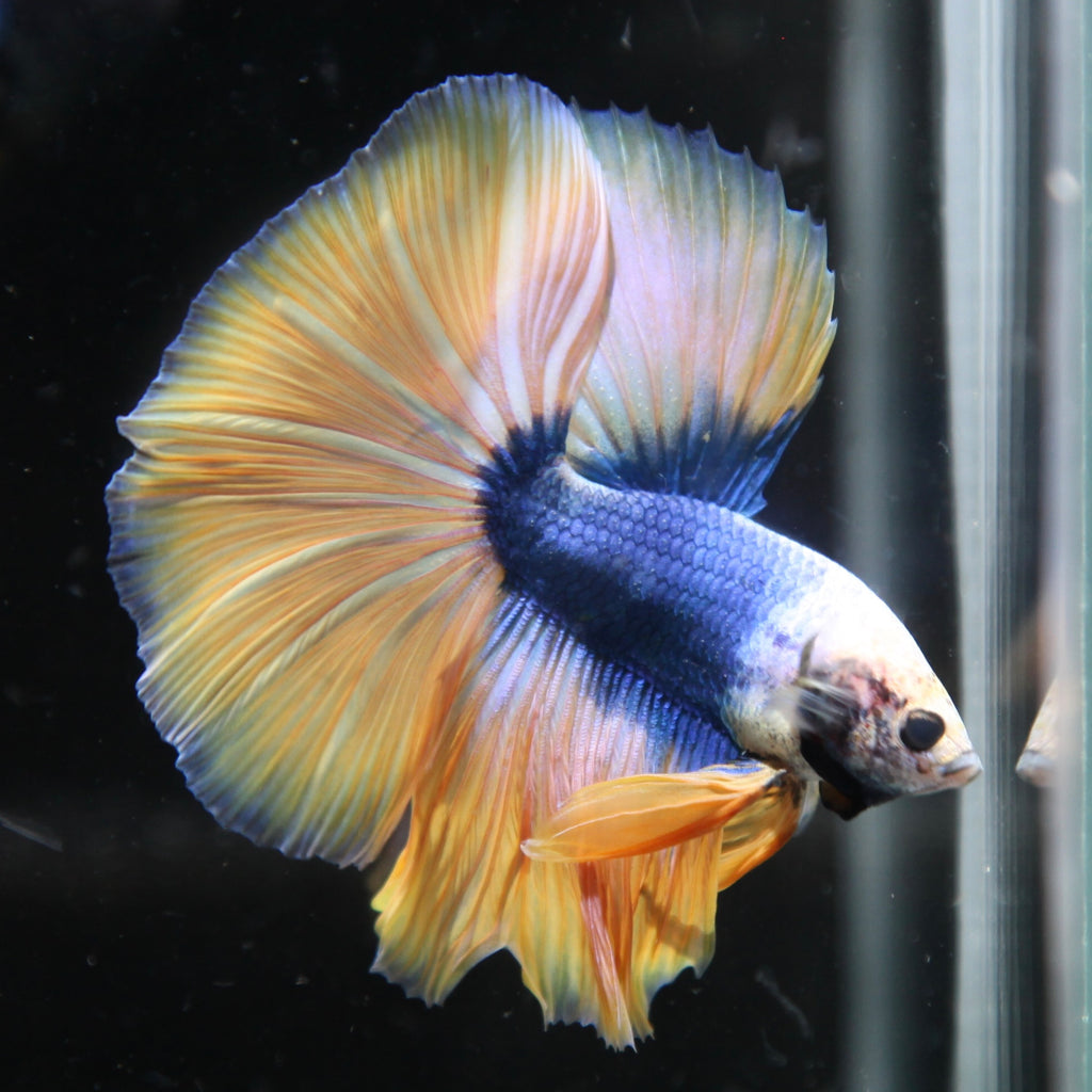 Iridescent Blue/Yellow Grizzle