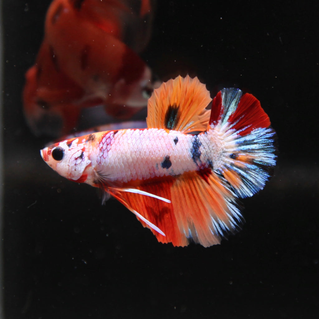 PREMIUM Blue Nemo Full-Body Galaxy HMPK