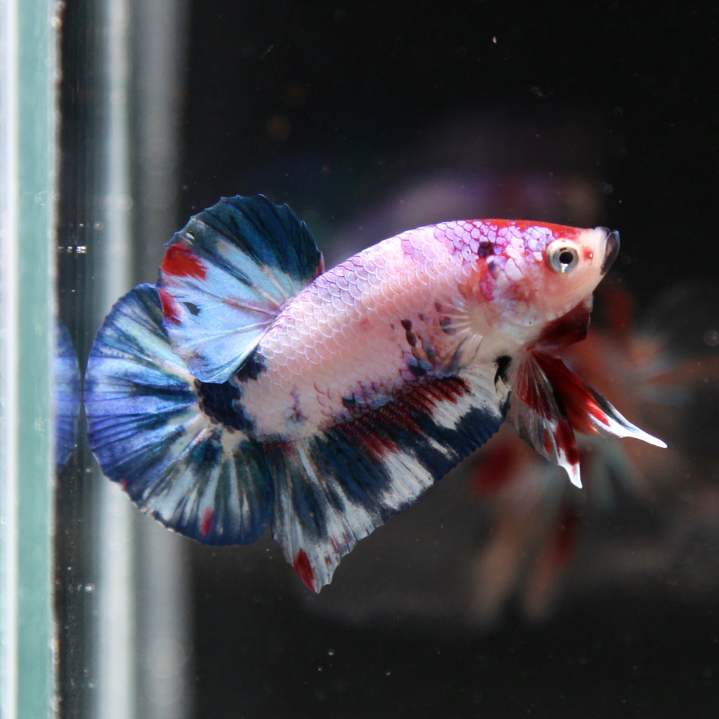 PREMIUM Fancy Purple Koi HMPK