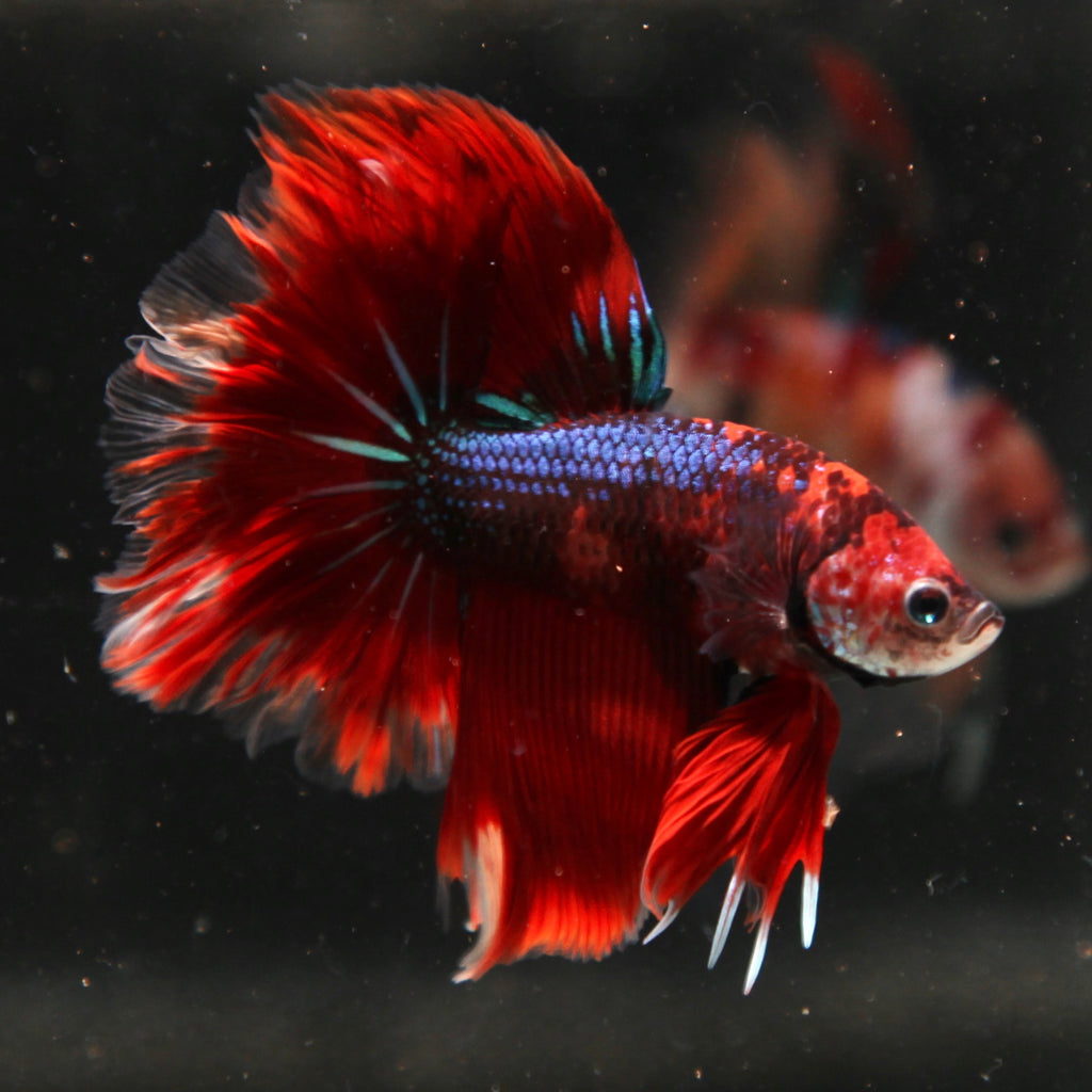 PREMIUM Blue Emerald Nemo Feathertail