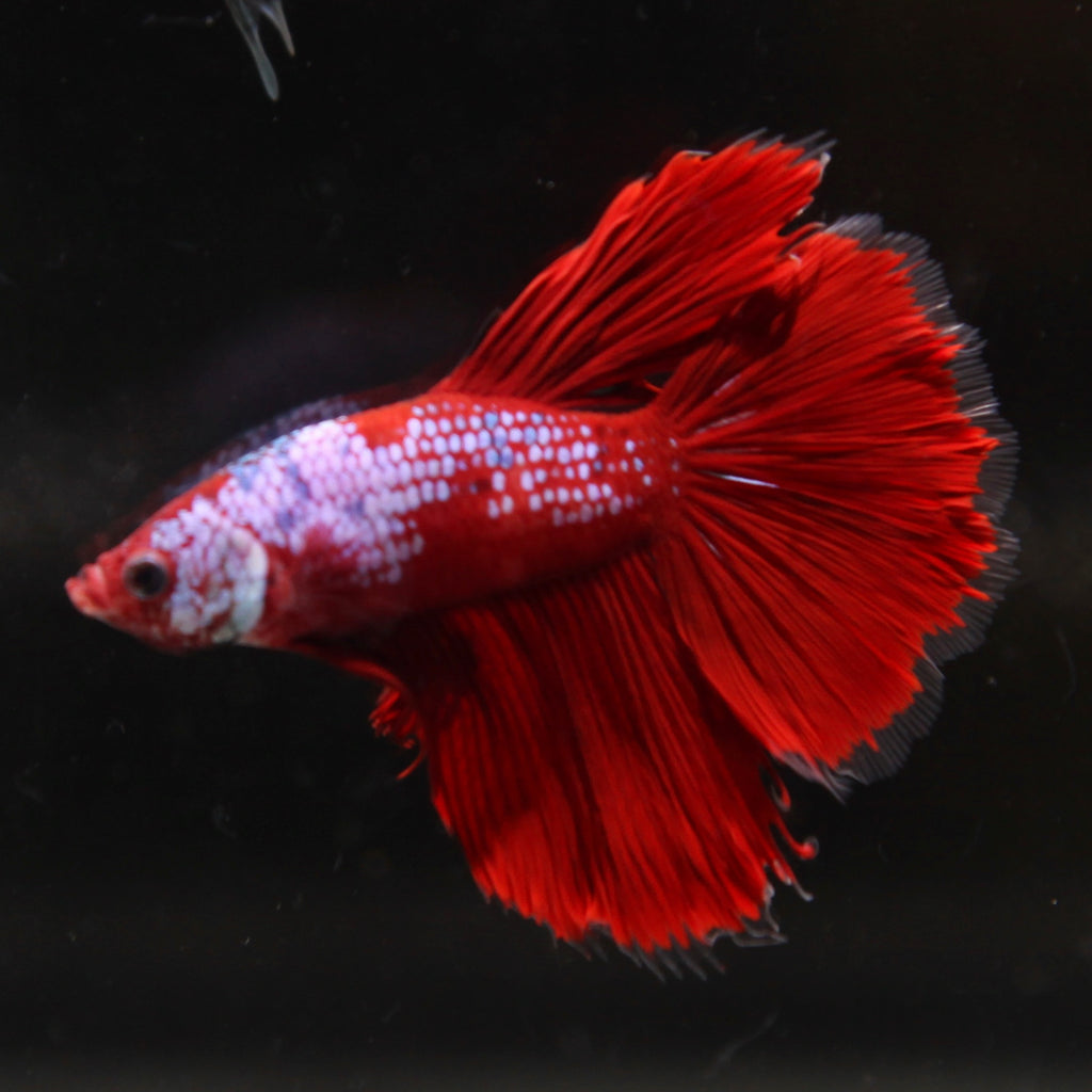 Fancy Red Marble Halfmoon