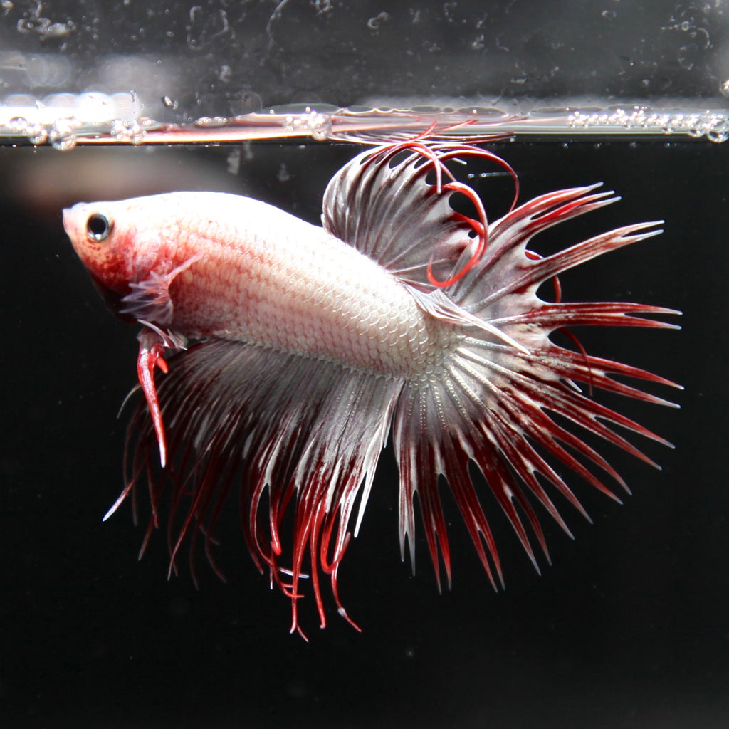 Silver Red Butterfly Crowntail Halfmoon