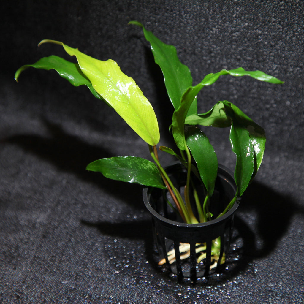 Anubias Variety Package! (Easy Plants!)