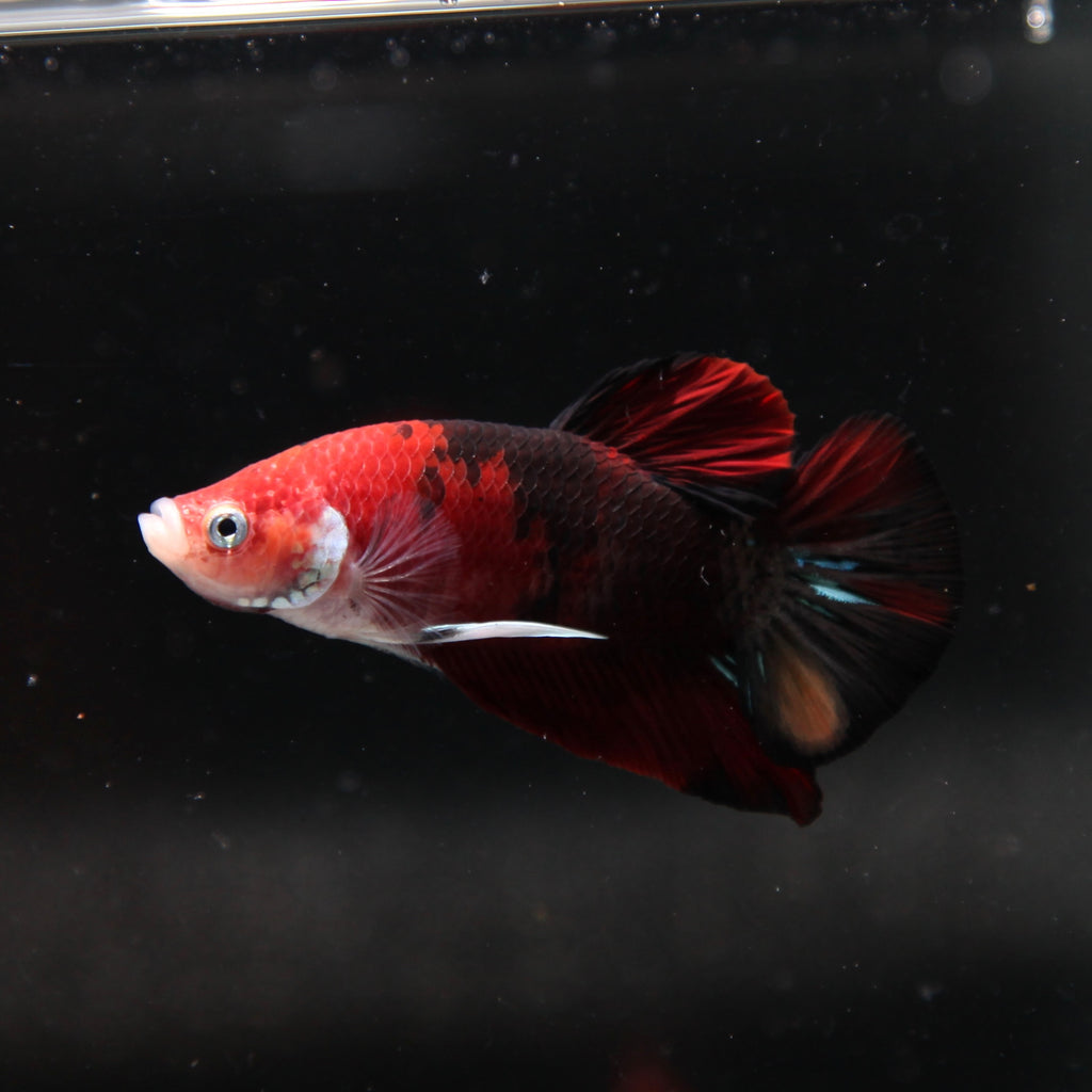 Red Tiger Koi HMPK