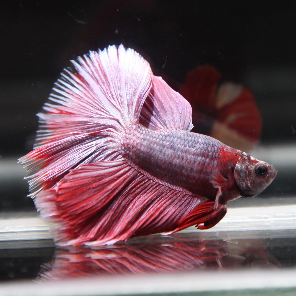 Red/Purple Grizzle Halfmoon