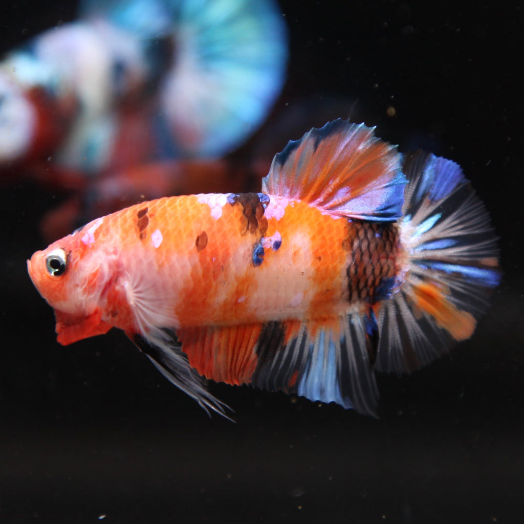 PREMIUM GIANT Orange Koi Galaxy HMPK