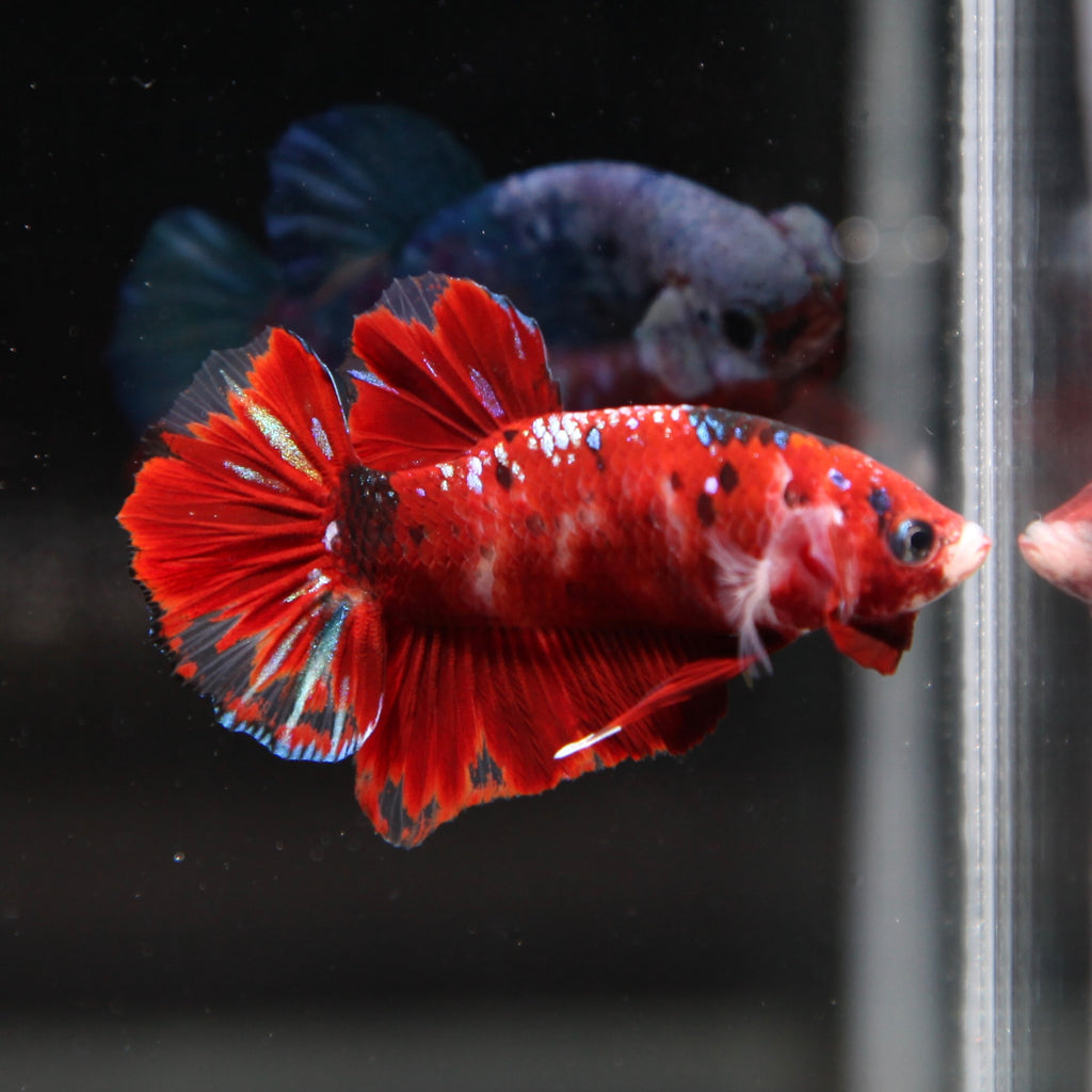 PREMIUM Red Koi Galaxy HMPK