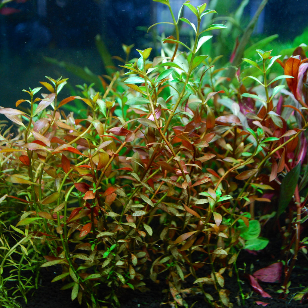 Ludwigia repens 'Narrow'