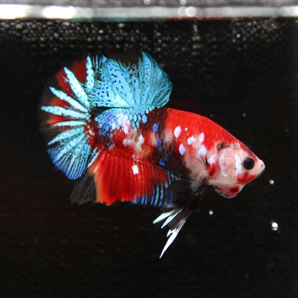 PREMIUM Blue Galaxy Red Koi HMPK