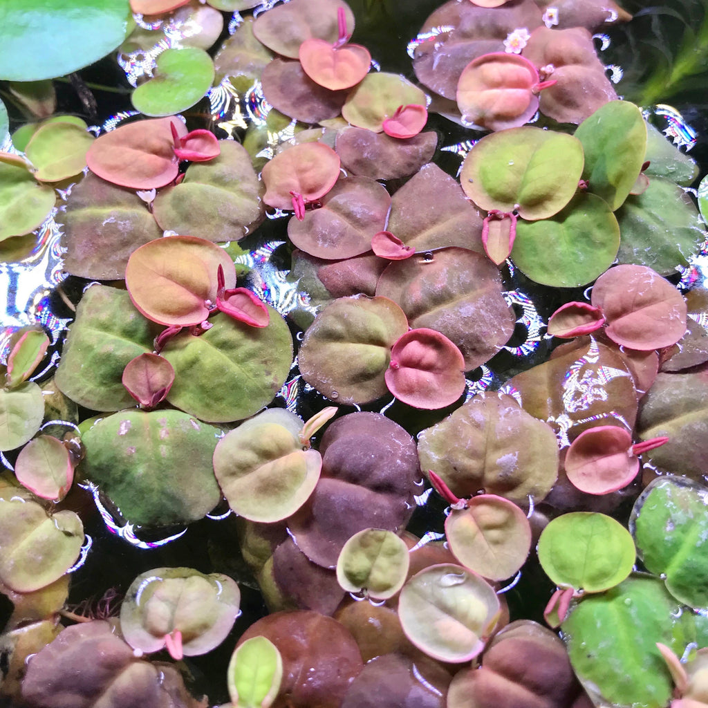 Red Root Floaters (Phyllanthus fluitans)