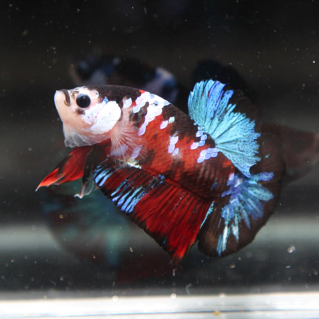 PREMIUM Blue Galaxy Red Tiger Koi HMPK