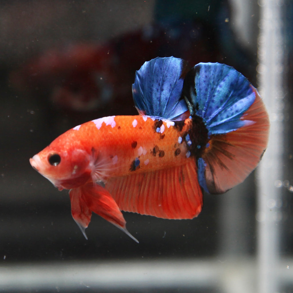 PREMIUM Blue Galaxy Orange Koi HMPK