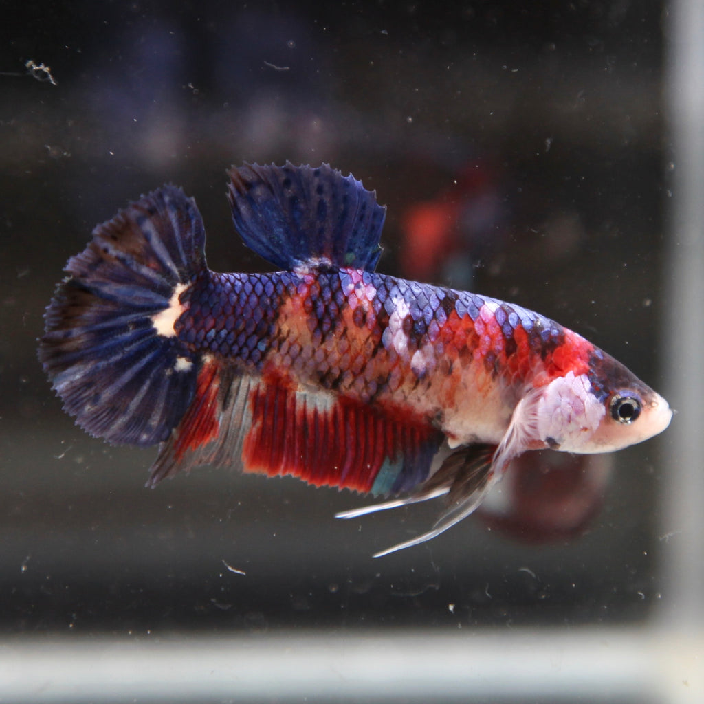 PREMIUM GIANT Purple Koi HMPK (Breeder Quality)
