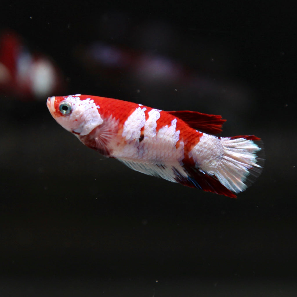 PREMIUM Red Galaxy Koi HMPK