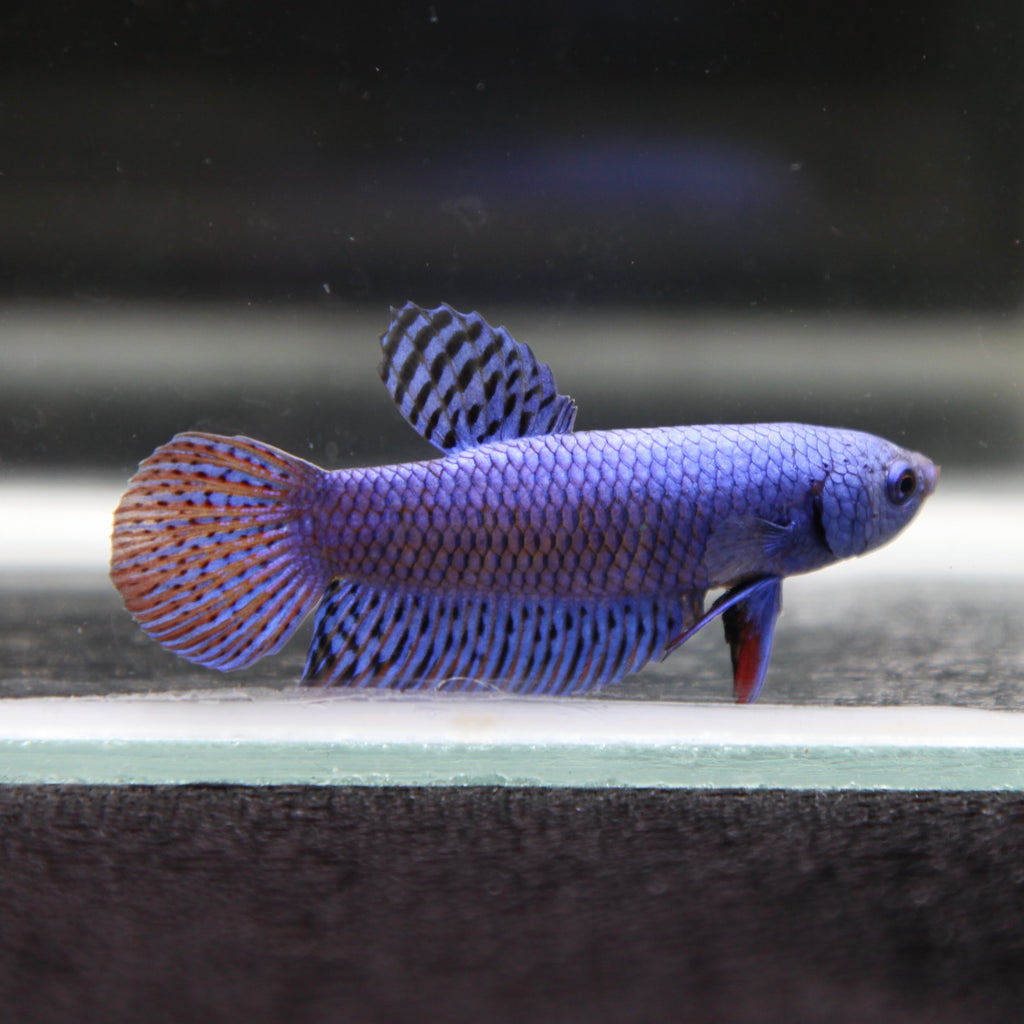 WILD TYPE Steel Blue Alien Hybrid (SB6)