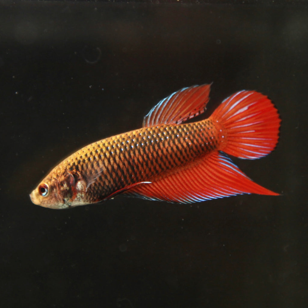 WILD TYPE Red Cheek Splendens (RS2)